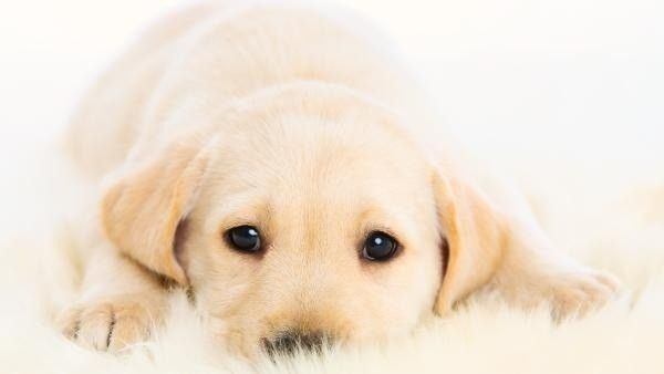 The American Kennel Club reports that for the 24th year in ...