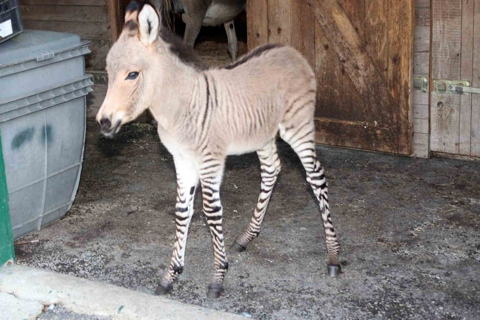 That is what you get when mixing a Zebra with a Donkey.