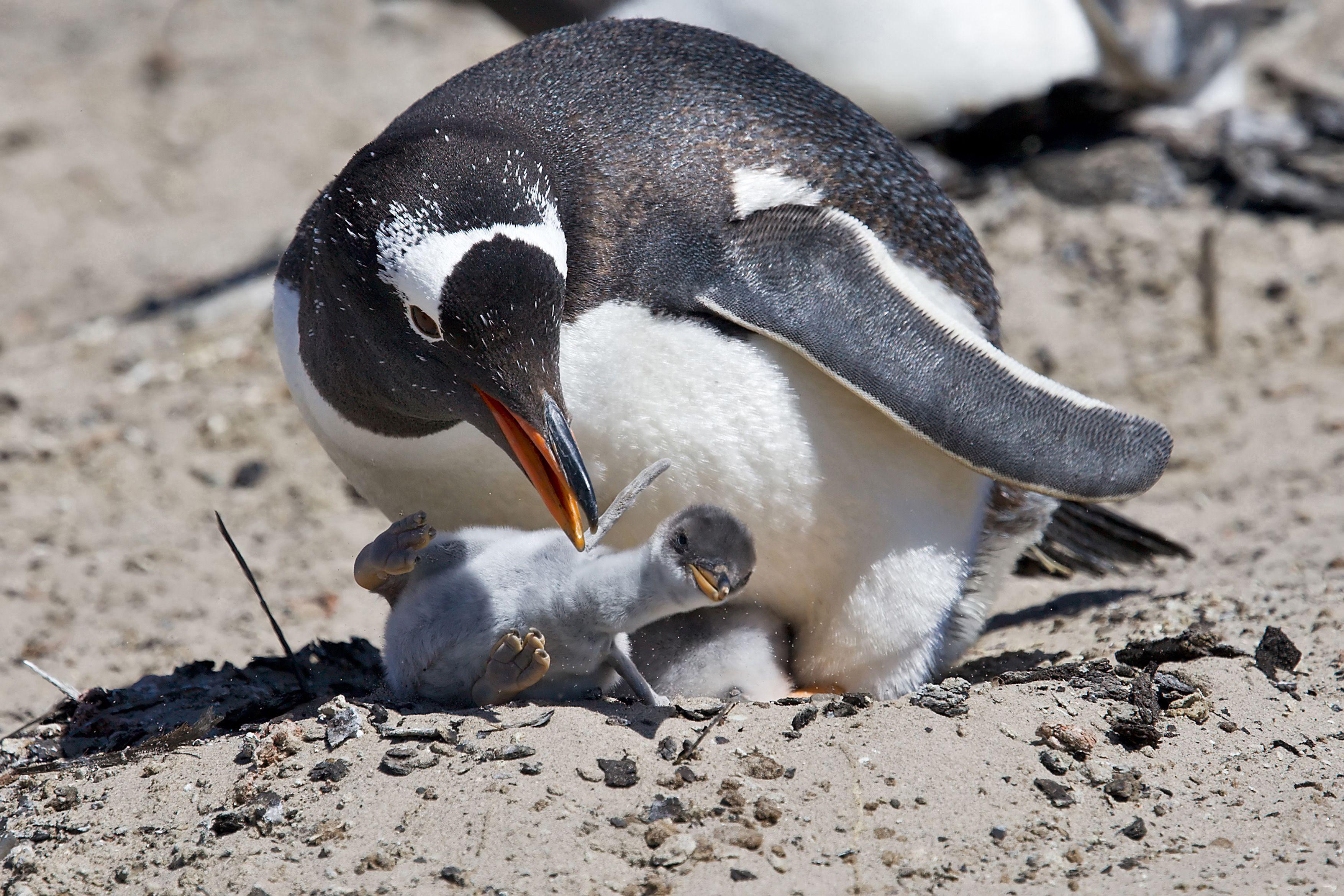 Penguins-Falkland Islands   Penguins