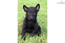 Black Belgian Malinois Puppies Google Search