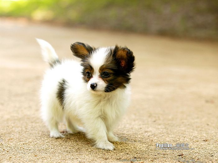 4 Papillon Dog Greeting Notecards Envelopes Dogs Cute Dogs