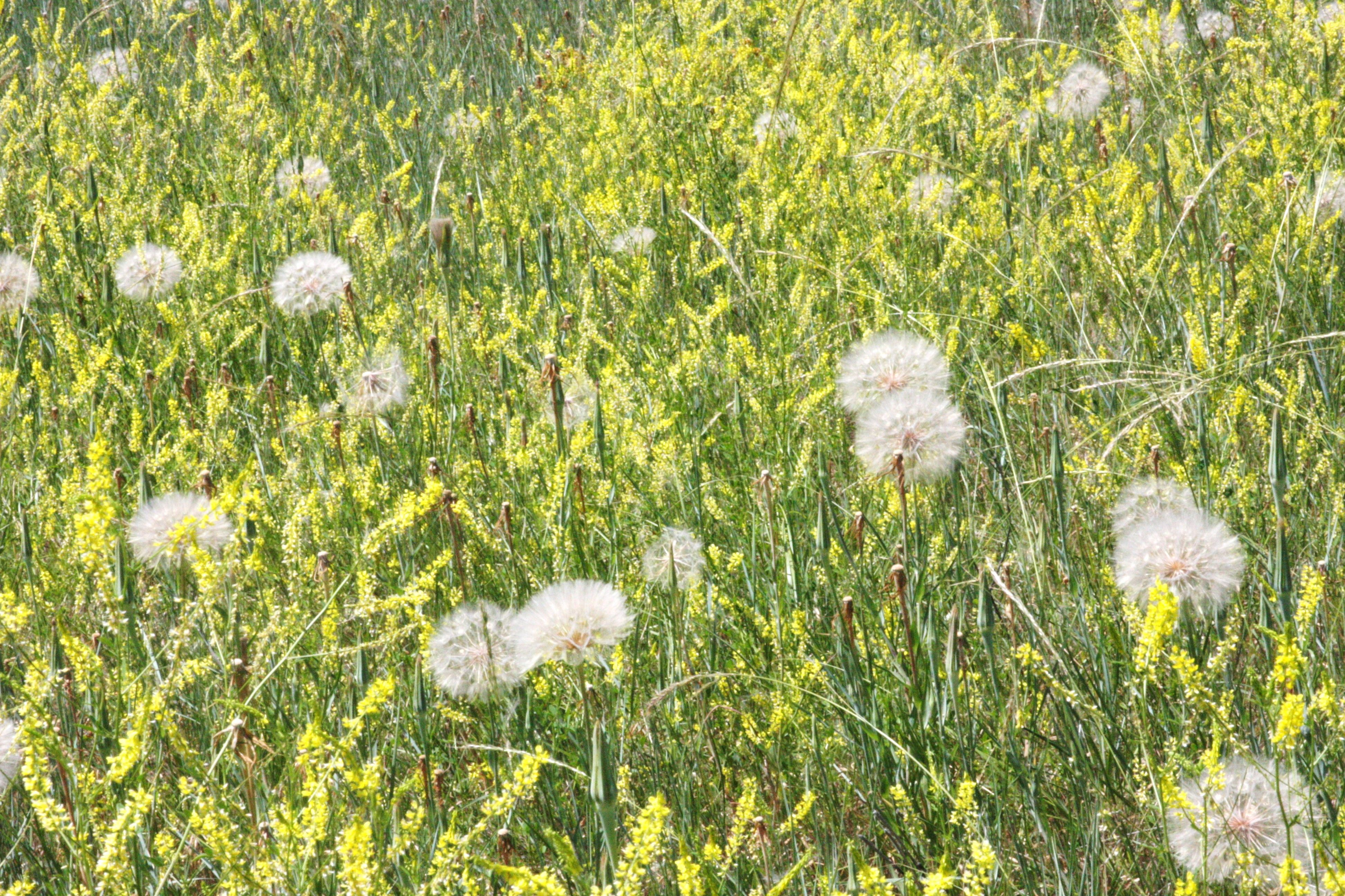 Goats Beard Seed Heads Tragopogon Pratensis With Yellow Sweet