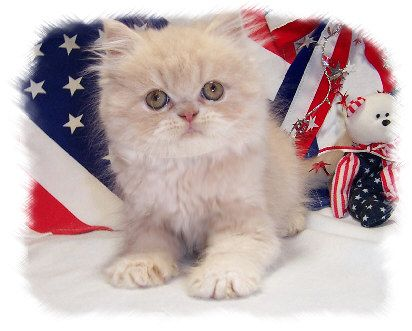 Baby Doll Persian Cat Dollface Cream Persian Cats Persian Kittens For Sale Persian Kittens Kitten For Sale