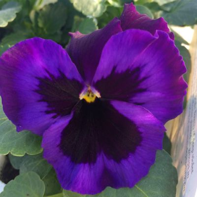 Pansy Neon Violet Available In D6 Pansies Beautiful Flowers Flower Making