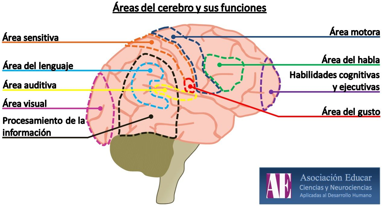 areas cerebrales sensitivas - Buscar con Google | Cole en casa ...