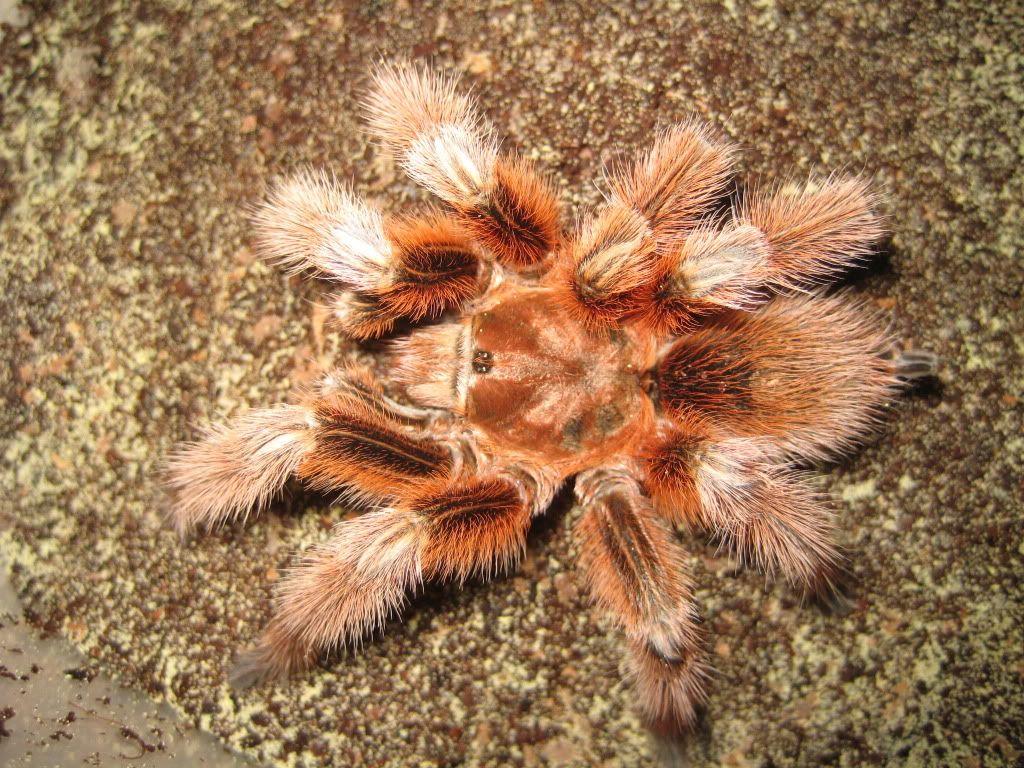 Image Detail For Rose Tarantulas5 Chilean Rose Hair Tarantula
