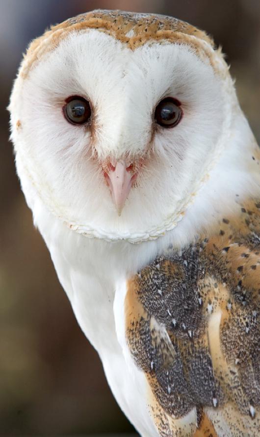 The 25+ best Barn owl sounds ideas on Pinterest | Barn ...