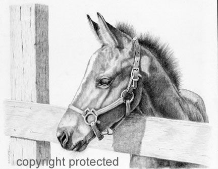Foal pencil sketch kentucky dreamer horse pencil drawing of a thoroughbred