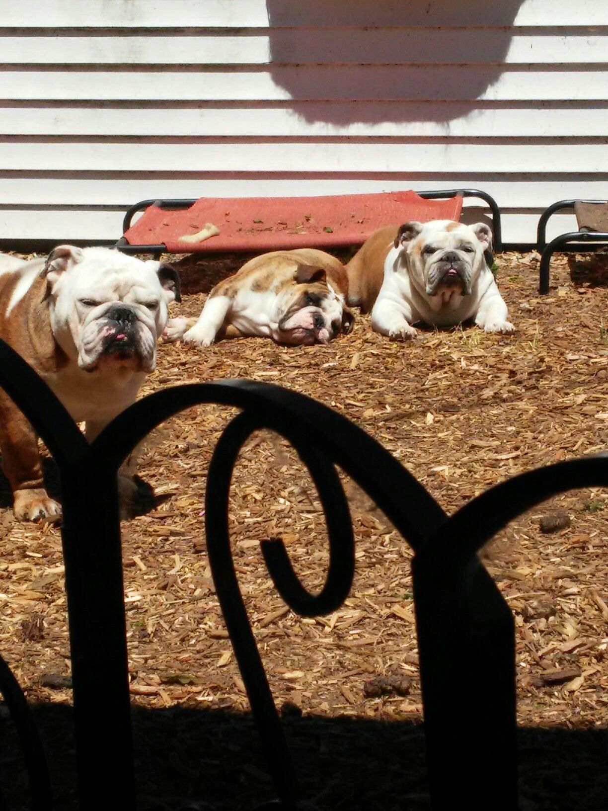 Grandma Laying Down By Grandson And Dad Standing Blue French Bulldog Puppies Funny Bulldog Pictures Bulldog