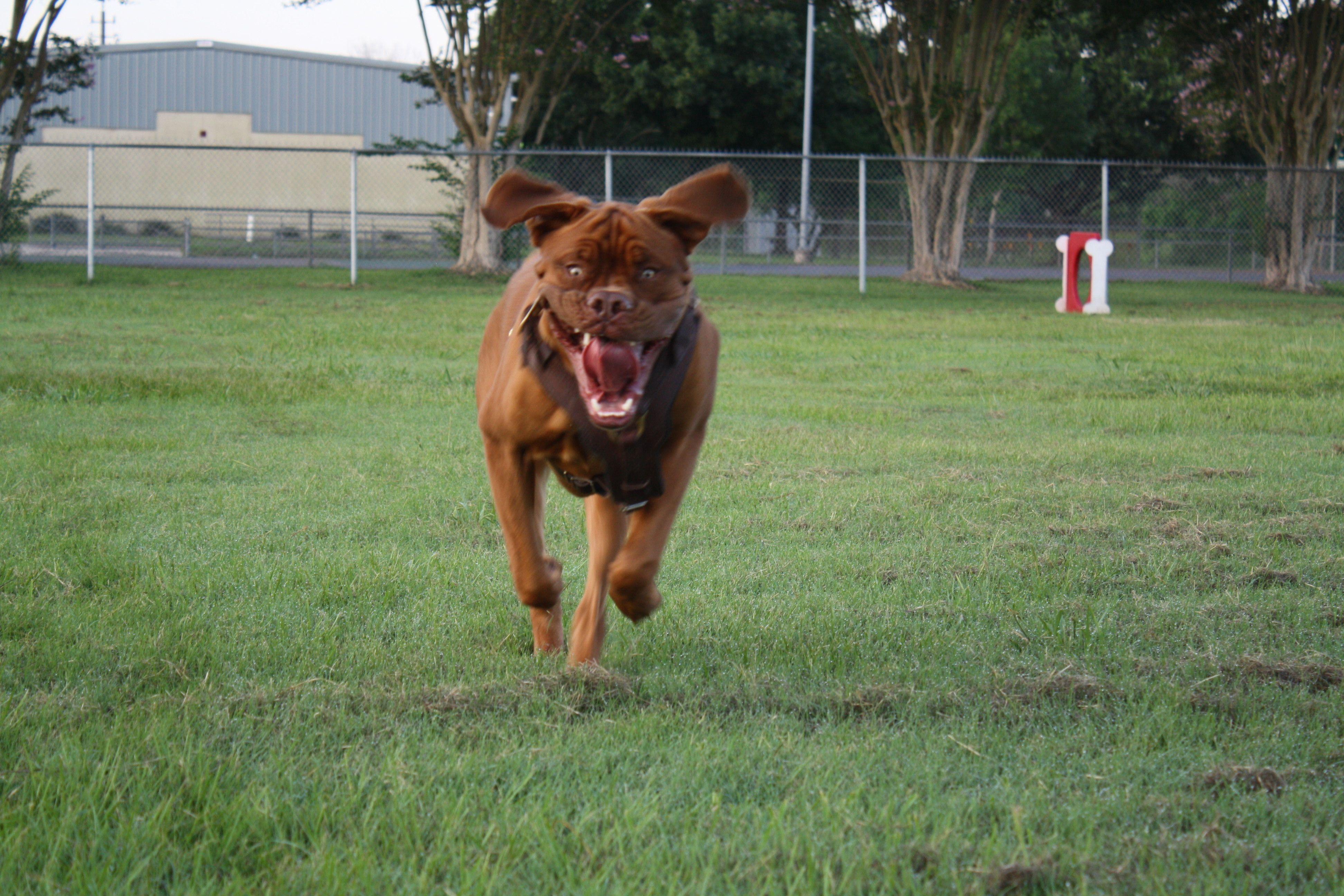 Zeddy 3 Gorgeous Gorgeous Boy With Images French Mastiff Dogue De Bordeaux De Bordeaux