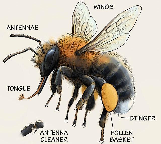 The Body Structure Of The Bumblebee Bee Bee Keeping Bumble Bee