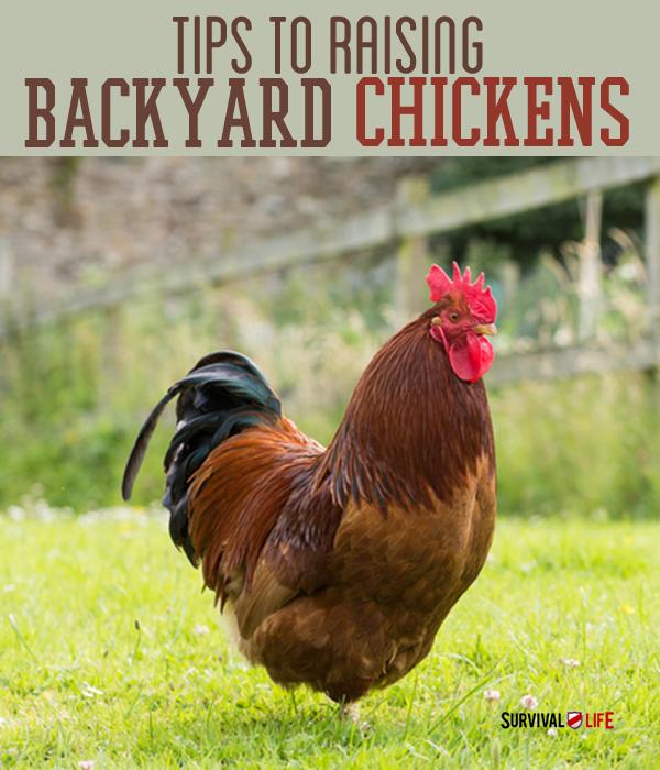 How To Raise Barnyard Chickens