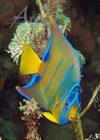 Queen Angelfish Ocean Creatures Sea Fish Beautiful Sea Creatures