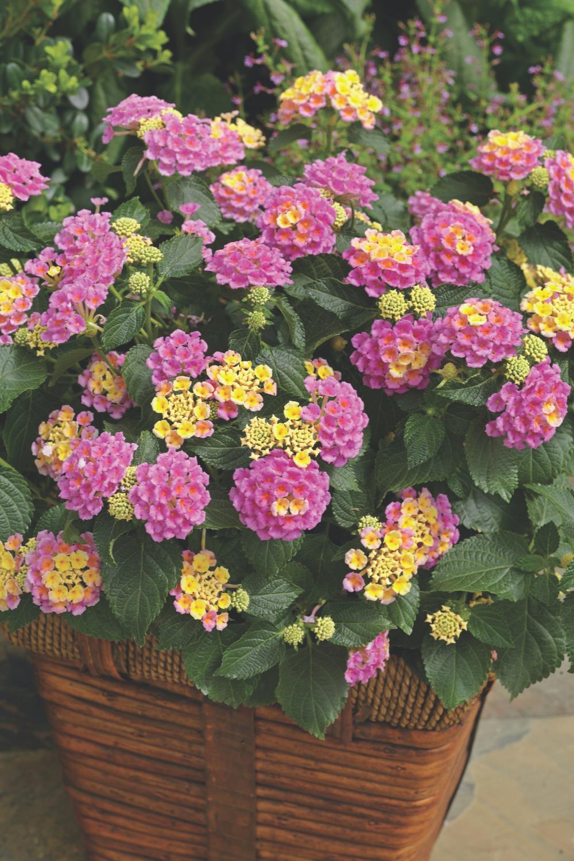 Lantana Pictures National Garden Bureau In 2020 Drought Resistant Plants Drought Tolerant Plants Full Sun Container Plants