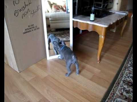 Piggy The Blue French Bulldog Puppy Going Crazy On Mirror When I