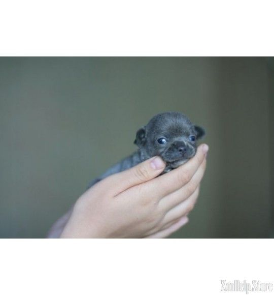 Chihuahua Puppies For Sale In Sc Puppies Chihuahua Puppies For