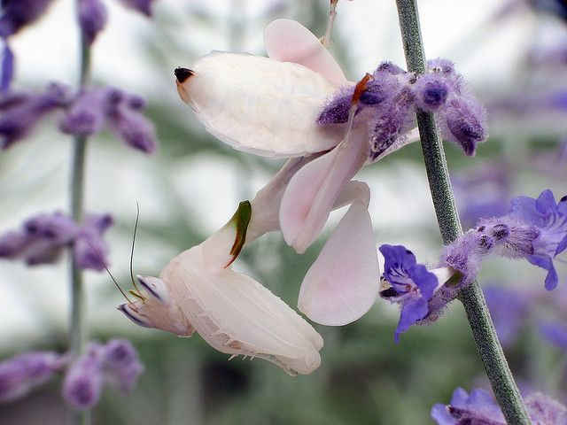 Orchid Mantis Praying Mantis Orchid Mantis Orchids Weird Insects