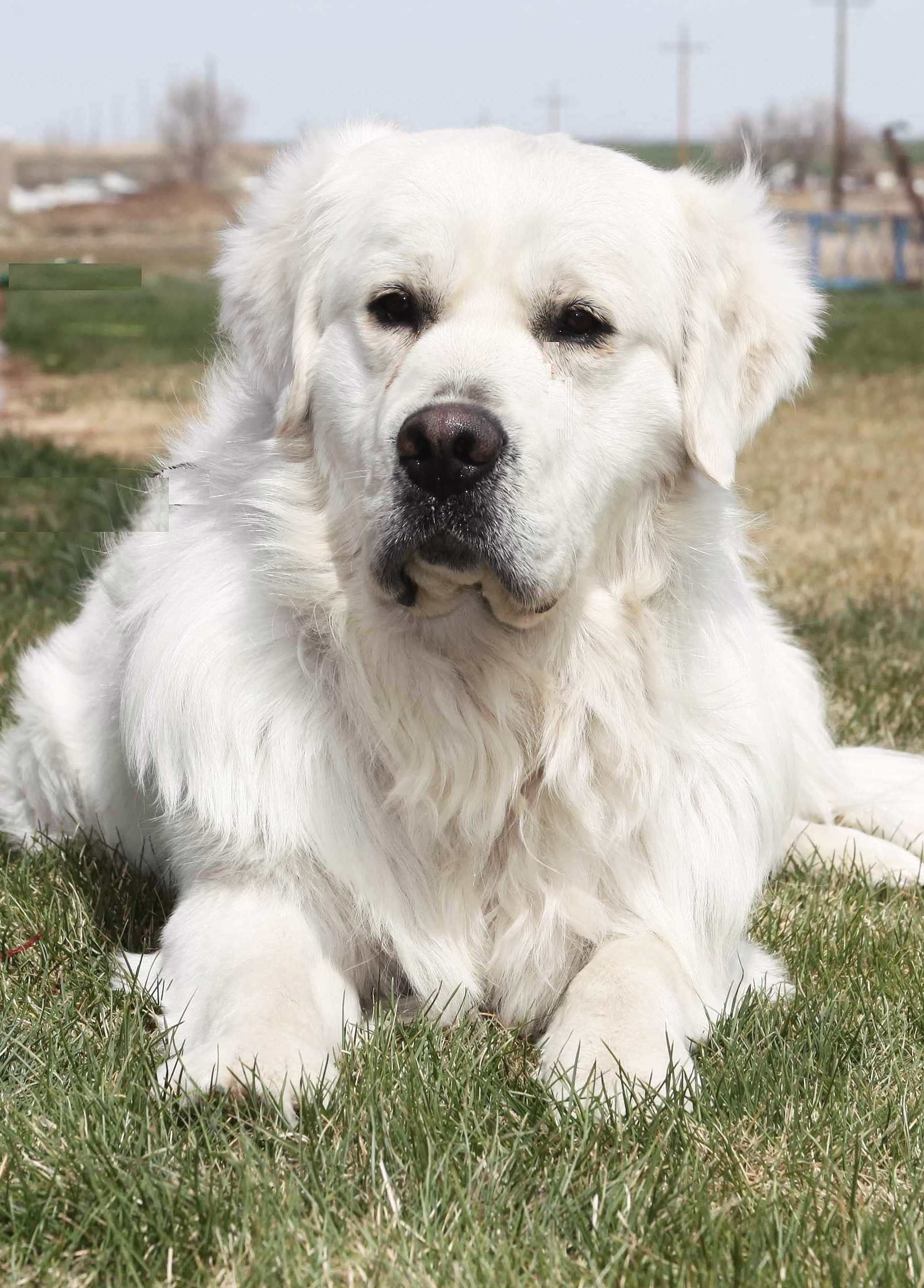 English Cream Golden Retriever Puppies Price In 2020 Retriever