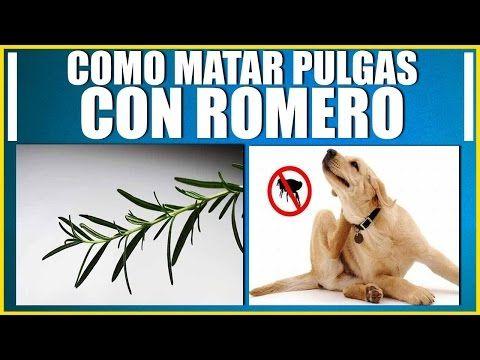 Remedio Casero 100% efectivo Contra garrapatas y pulgas de mi perro y gato!!! - YouTube