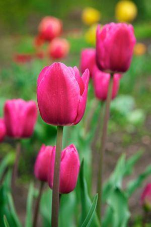 Tulipa darwin hybrid spring song tulips pinterest darwin tulipa darwin hybrid spring song mightylinksfo Images