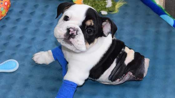 Rescue Organization Sets Up Fund Raiser For Adorable Half Pup