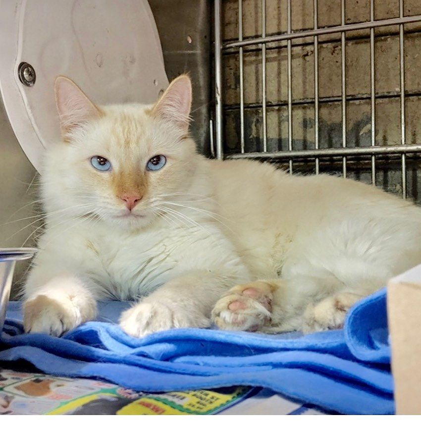 Carson Shelter Cats On Instagram Wow Save Poncho A5328598 Poncho Is A Simply Gorgeous 2yr Old Flame Point Si Cat Shelter Cute Animals Cat Shirts Funny