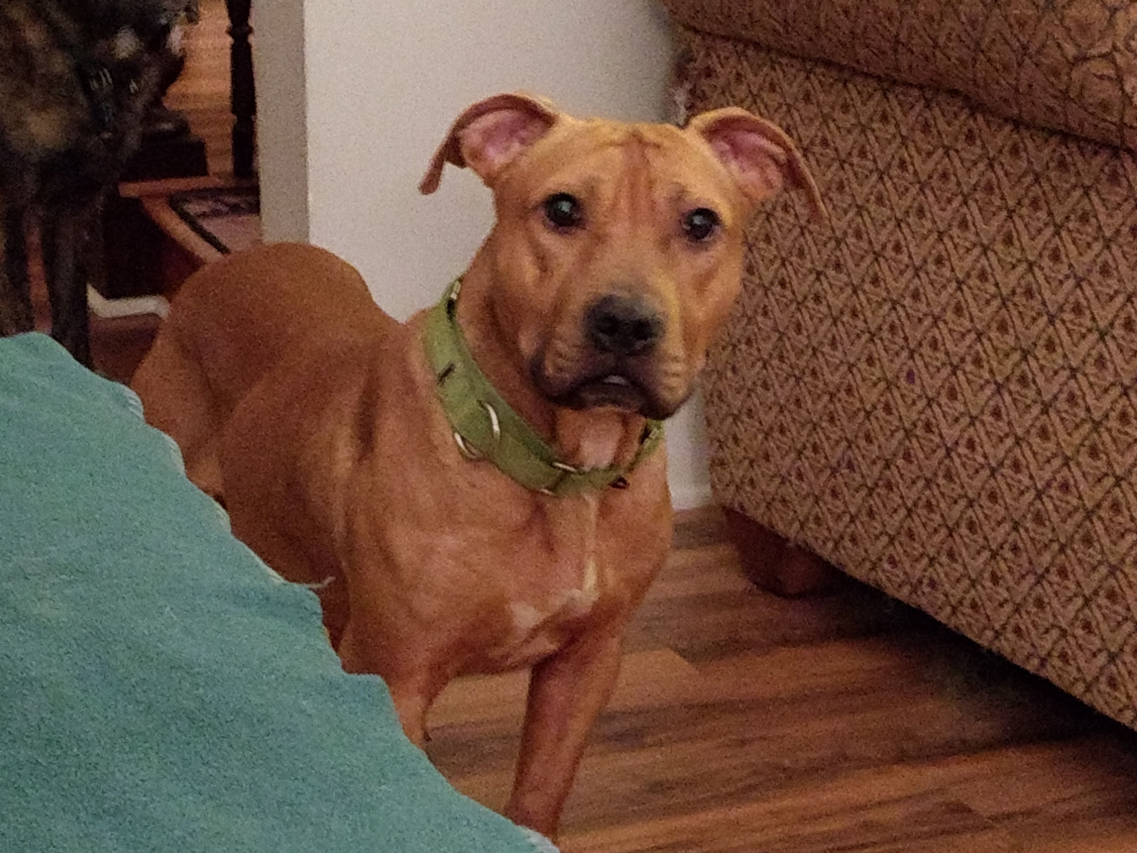 Adopt George On Dog Adoption Staffordshire Bull Terrier Pets