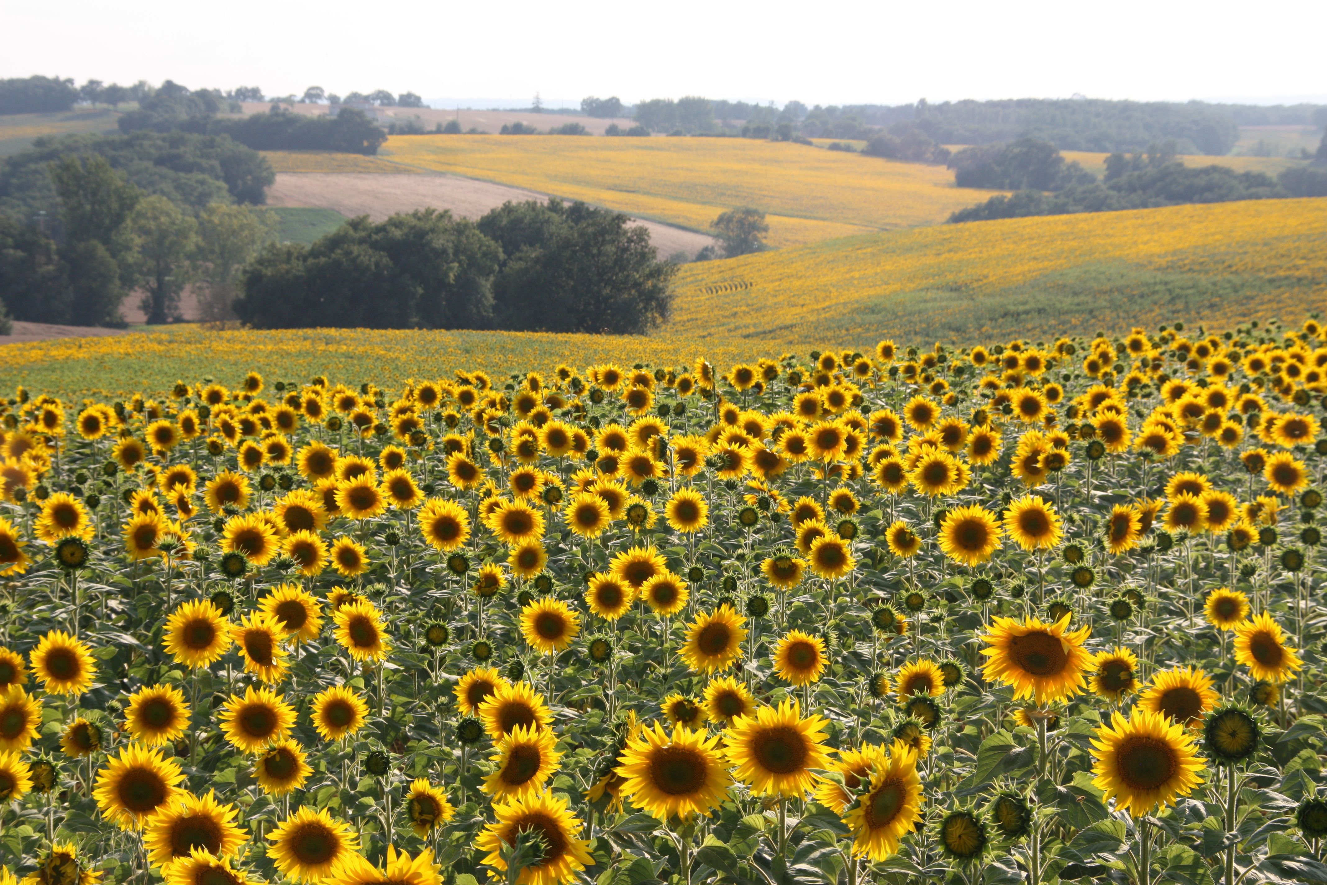 You know you are in the Gers when all you can see around you are sunflowers.