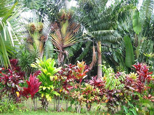 "Garden Design Hawaii tropical garden filled with as many ""canoe"" plants (including ti"