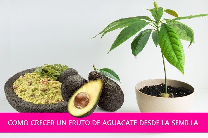 Cómo crecer un fruto de Aguacate (Palta) desde la semilla.