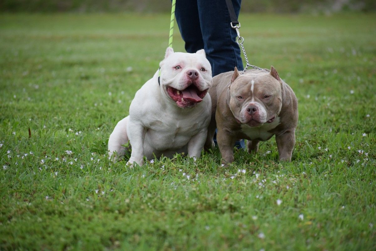 Venom King Of The Micro Bullies Pocket Bully Bulldog Blue