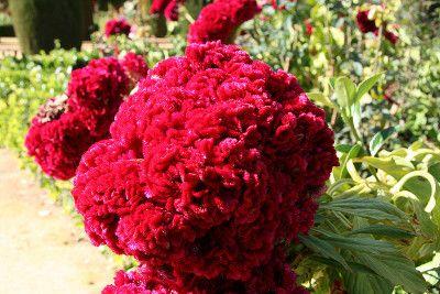 Flor De Terciopelo Velvet Flowers Marigold Flower Flowers