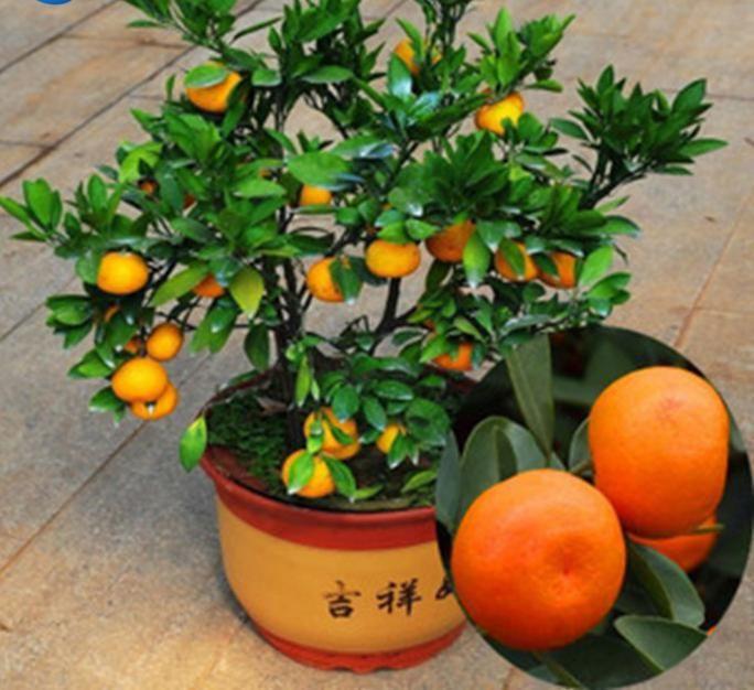 50 unids/bolsa balcón patio maceta de frutas árboles plantados