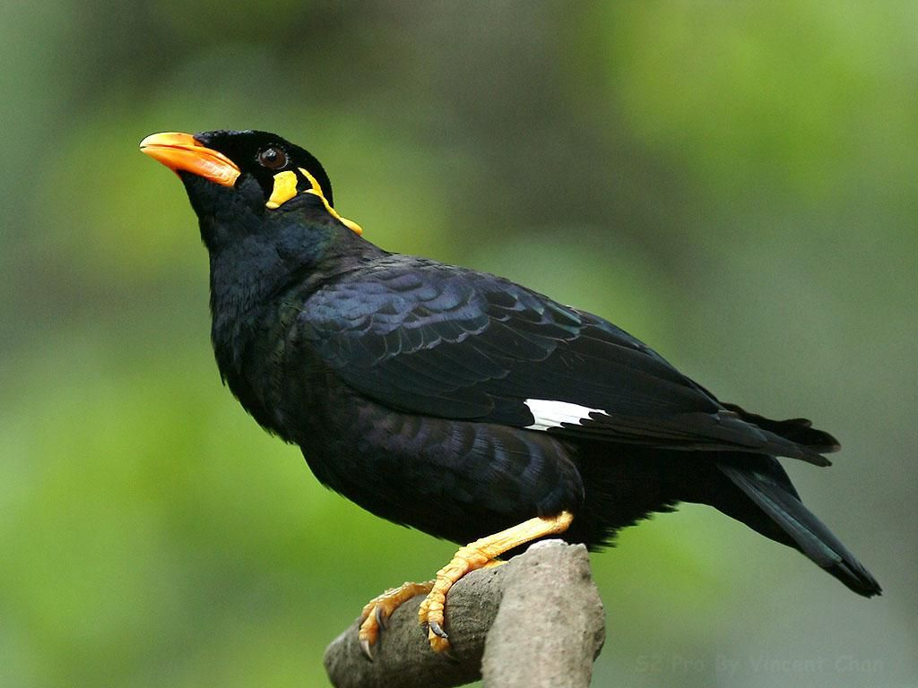 A Mynah Bird is what Laila was compared to in the book. It ... - photo#11