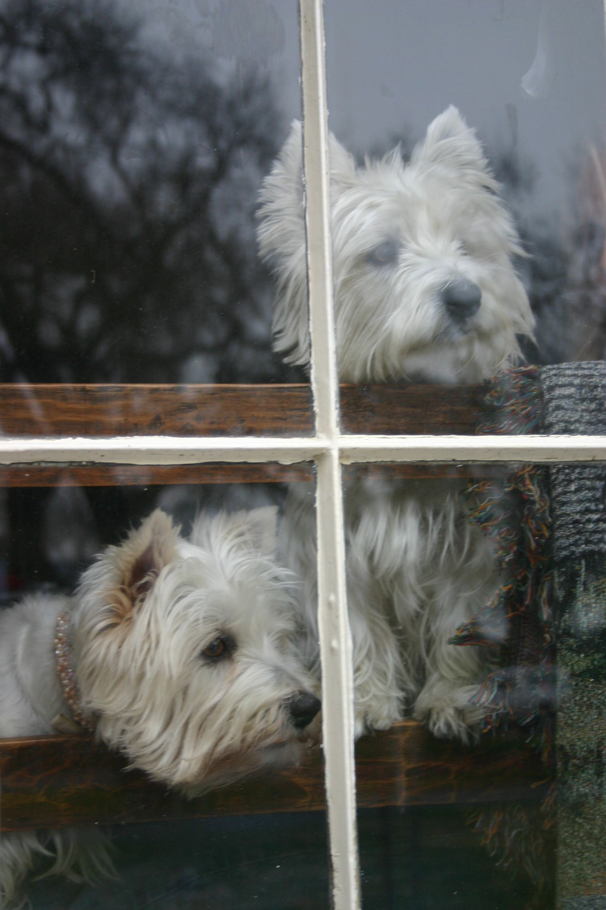 Westies in the window