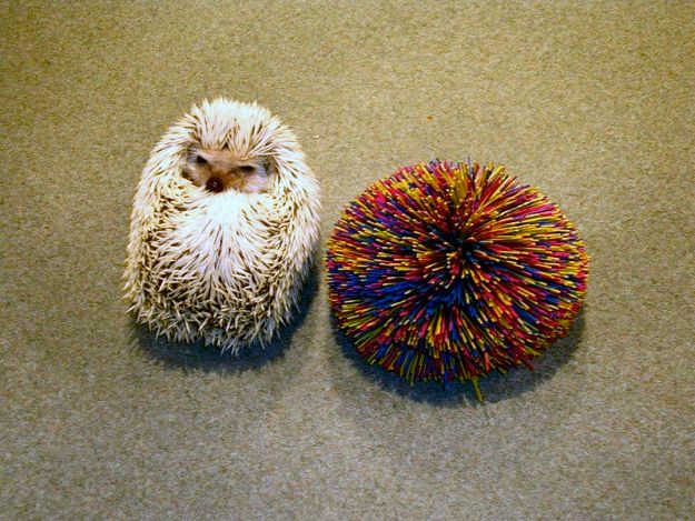 I am very confused. Help? Someone? Anyone? | 15 Hedgehogs With Things That Look Like Hedgehogs