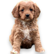 Cockapoo Puppies For Sale In Pa Cockapoo Puppy Adoptions Cockapoo Puppies For Sale Cockapoo Puppies Puppies