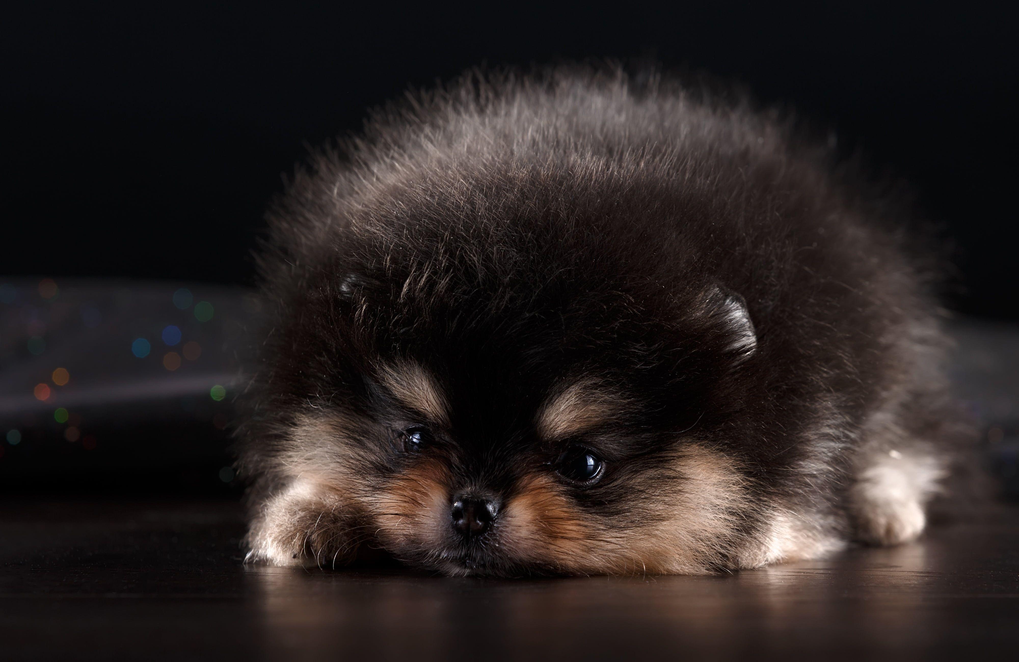 Black And Tan Teacup Pomeranian Sits Teacup Pomeranian Cute Animals Puppies Pomeranian Puppy Hd wallpaper pomeranian dog animal pet