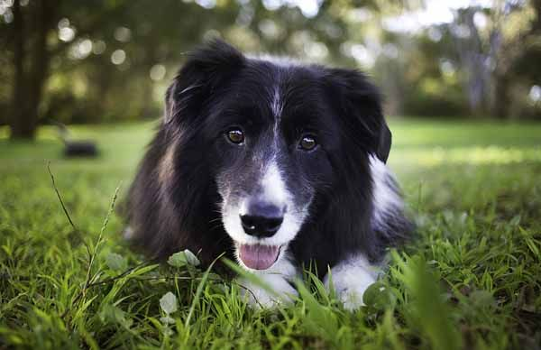 12 Imperative Border Collie Training Steps And Commands For Pet Owners Border Collie Training Dog Training Obedience Dog Training