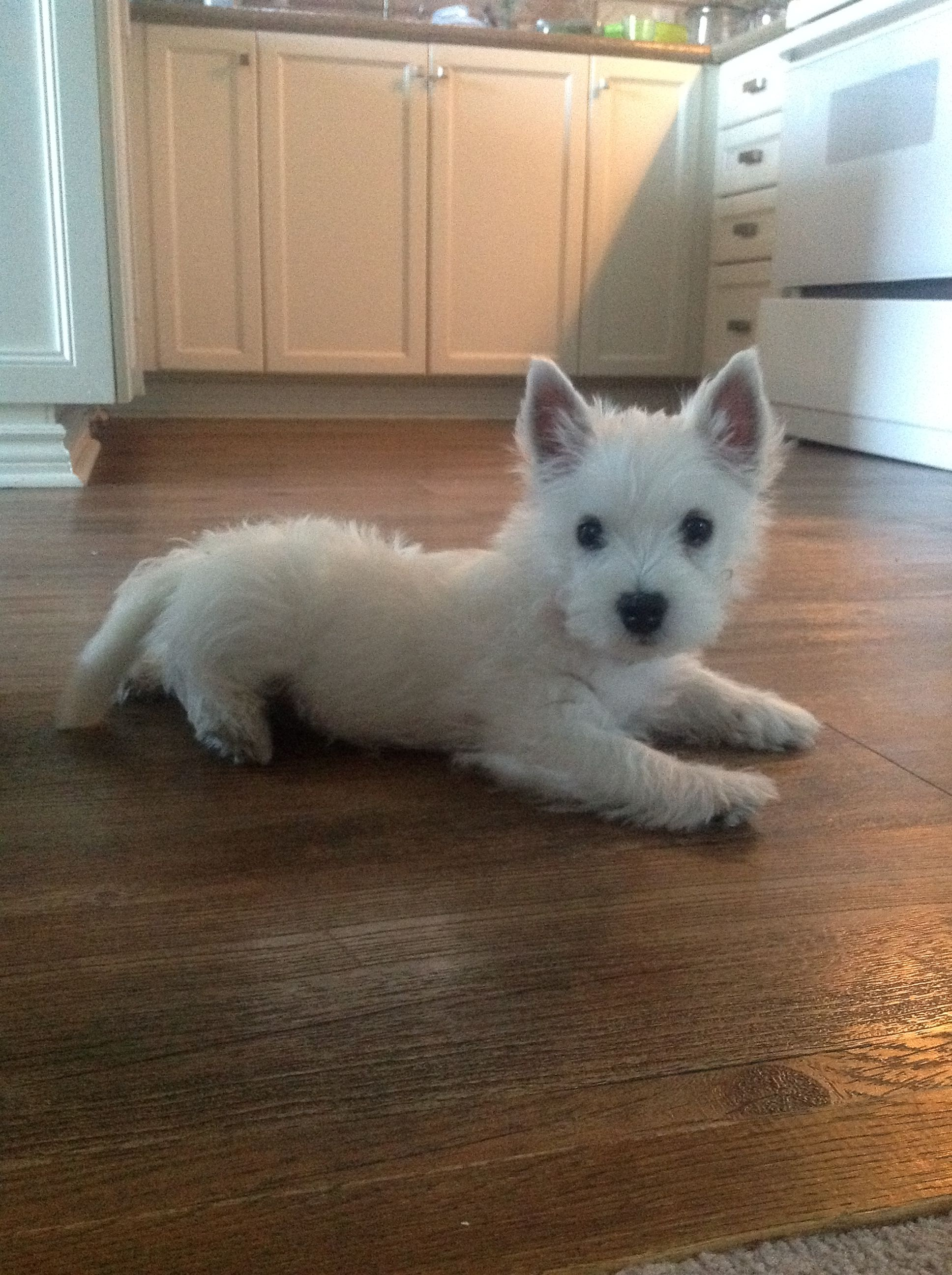Pin By Joann Brown On Westies Westie Puppies Cutest Dog Ever Puppy Day