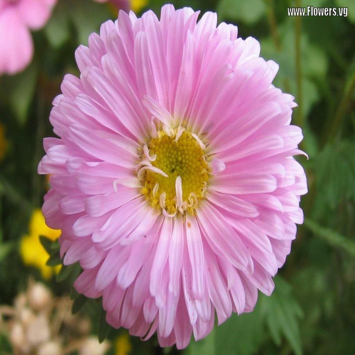 A Pretty Pink Aster Flower Wallpaper Pinterest Aster Flower