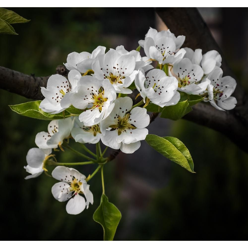 Online Orchards Cleveland Select Flowering Pear Tree Bare Root In 2021 Flowering Pear Tree Pear Trees Pear Blossom