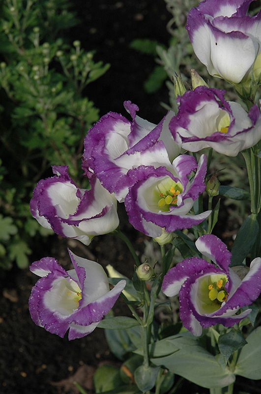 Lisianthus Eustoma Lisianthus Flowers Gentian