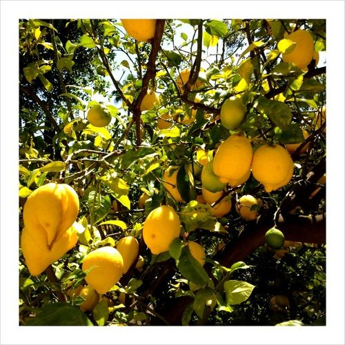 the brightest, yellow lemons