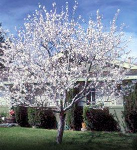 Almond Hall S Hardy Prunus Dulcis Self Fertile Plant Two