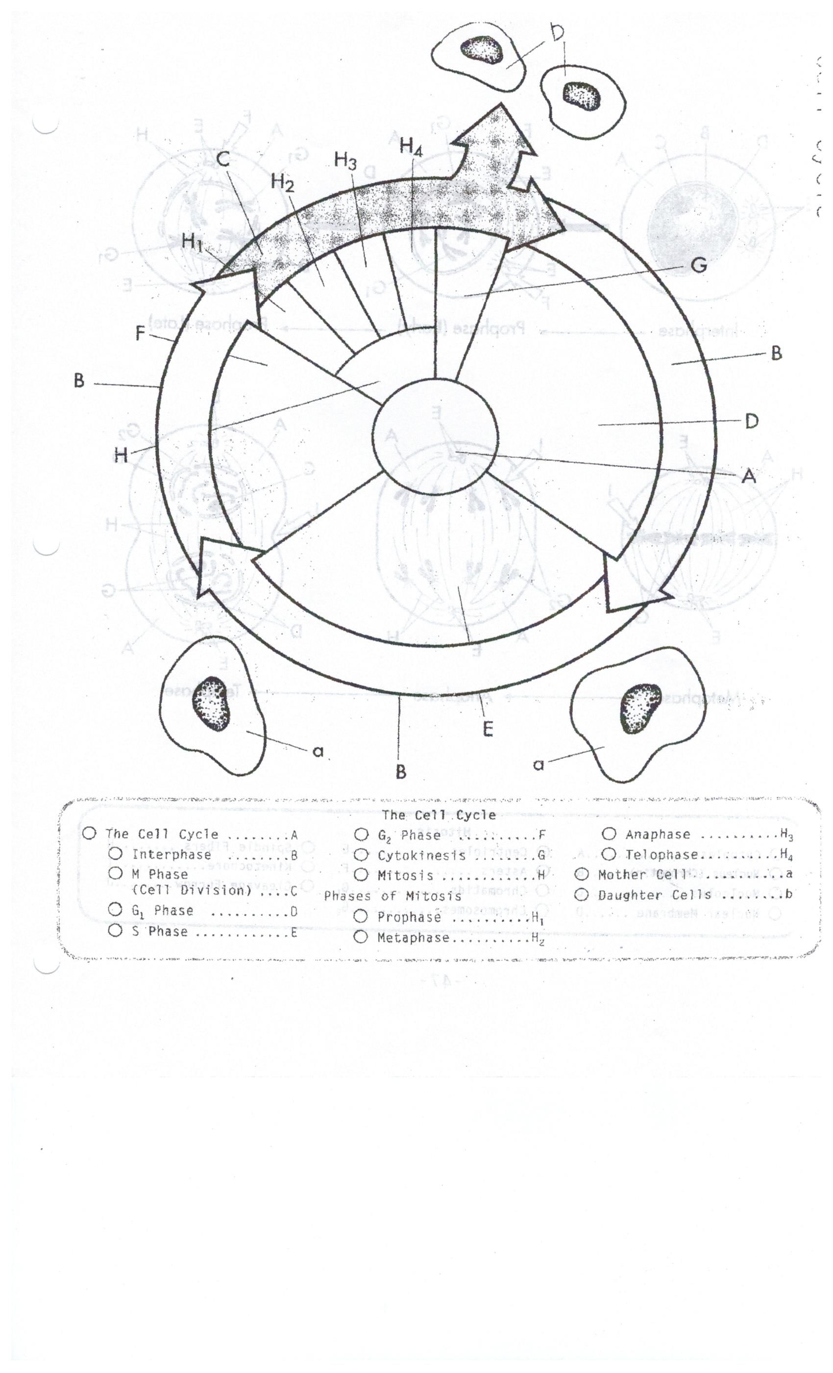 Cell Cycle Coloring Worksheet biology Cell cycle