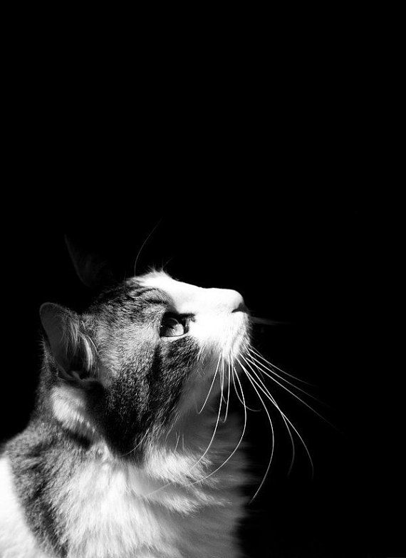 Cat art photo 5x7 black and white photography by stephsshoes 10 00