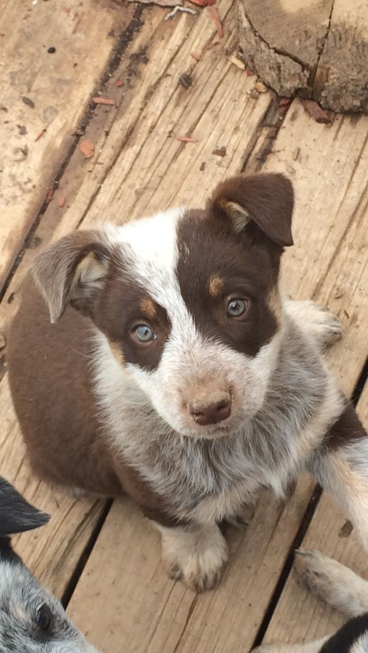 Our Chocolate Heeler From Our Last Litter Both Parents Are Pure