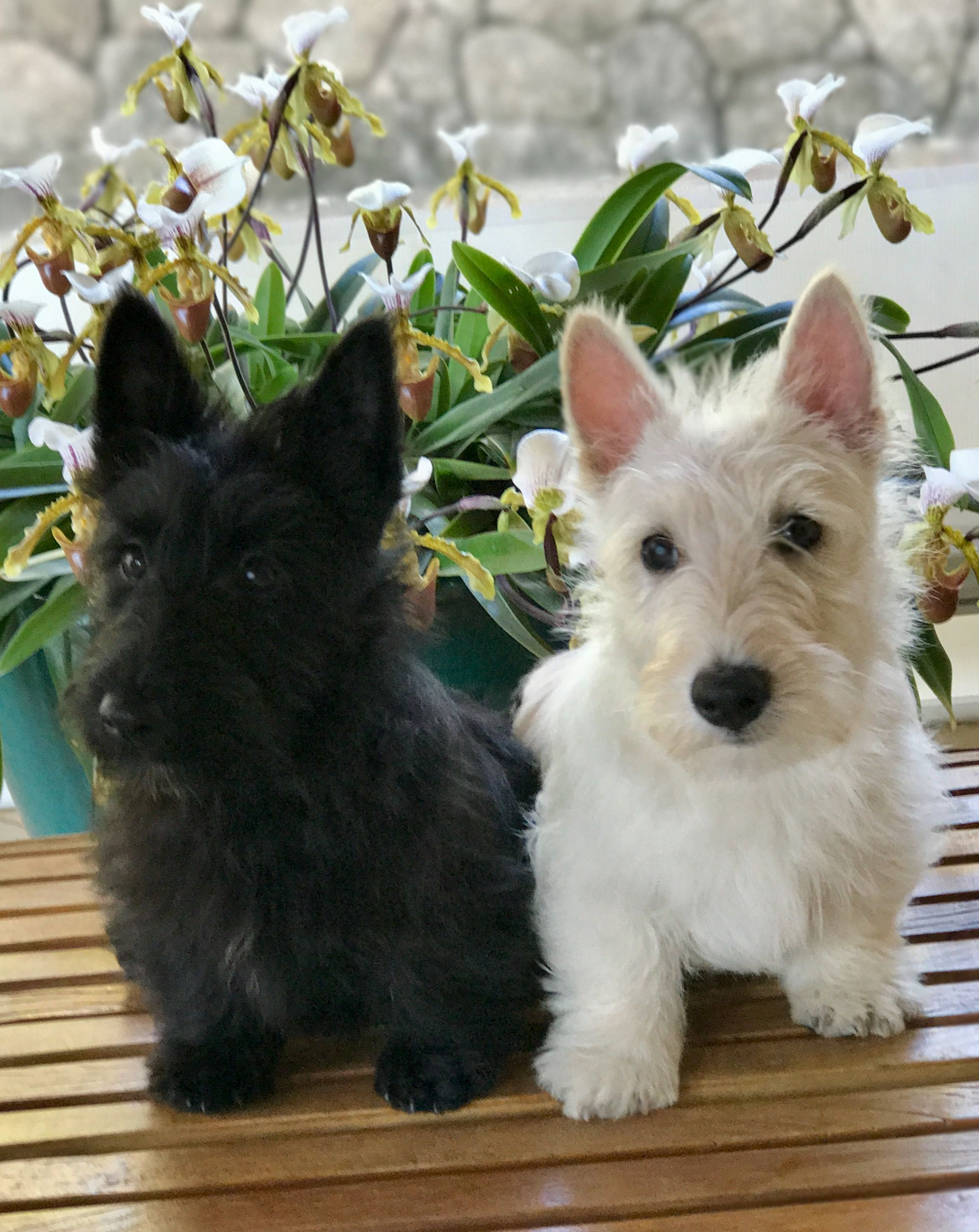 Lovely Twins Scotties Babies Scottie Dog Puppy Scottish