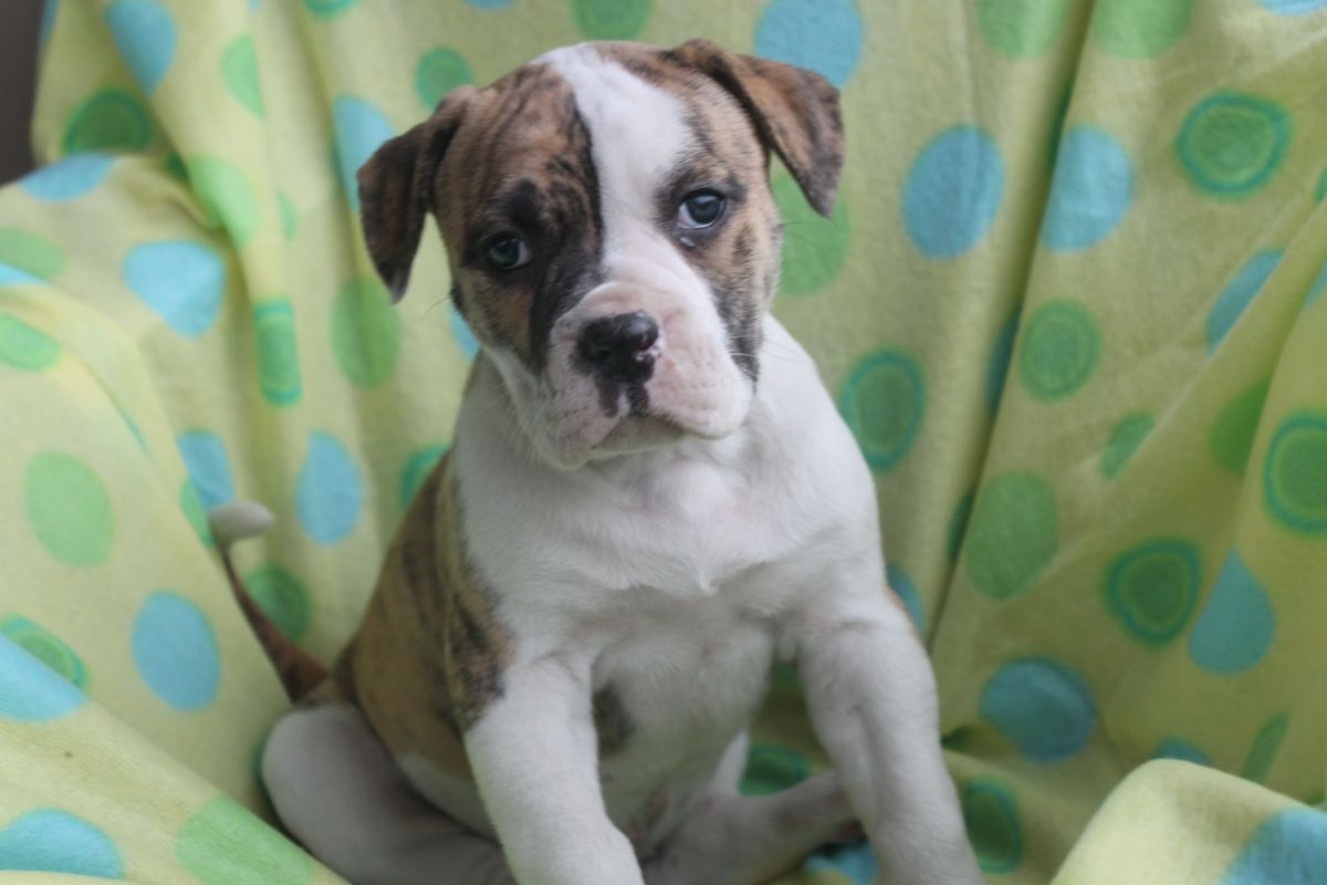 American Bulldog Puppies For Sale In Pa American Bulldog Puppies American Bulldog For Sale Bulldog Puppies
